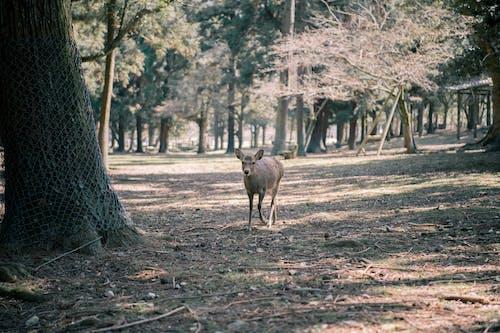 ナラパーク, 奈良, 親愛なるの無料の写真素材