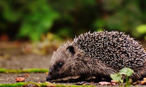 Základová fotografie zdarma na téma hledání potravy, hlodavec, ježek, jídlo