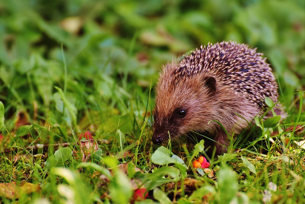 Hedgehog on a grassy field.   Photo: Pexels
