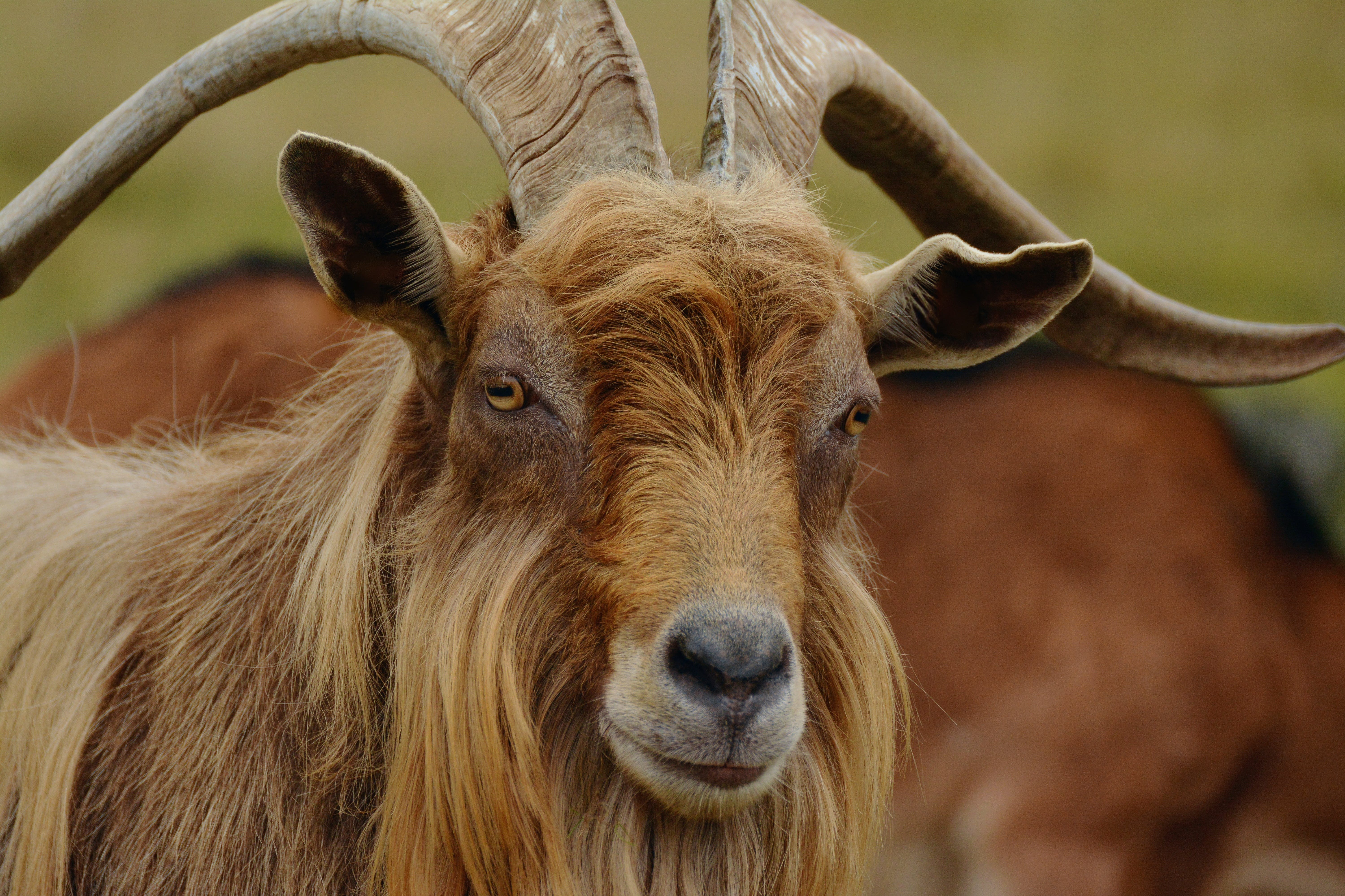 Selective Focus Photography of Brown Goat