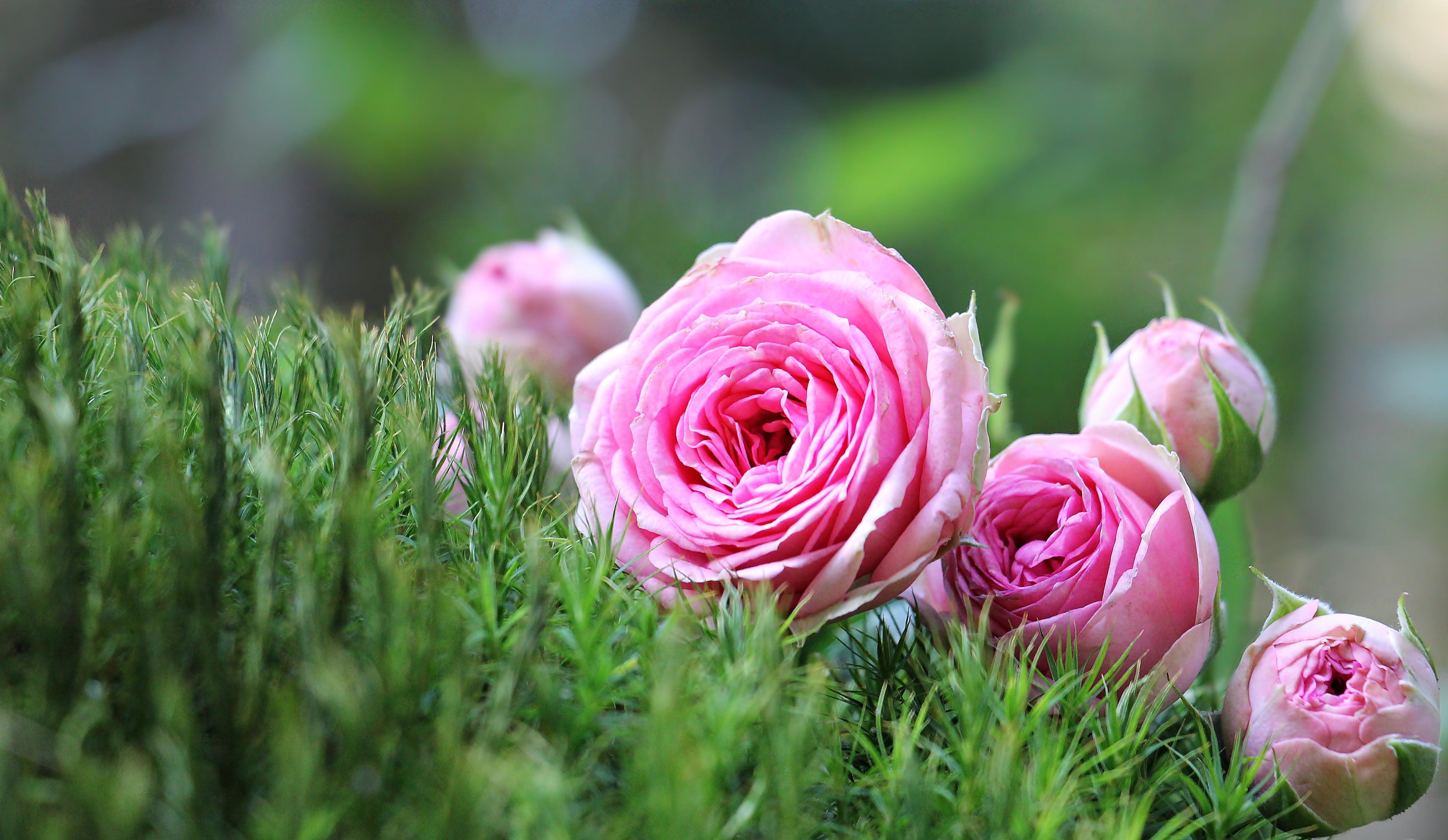 Macro Photo of Pink Roses