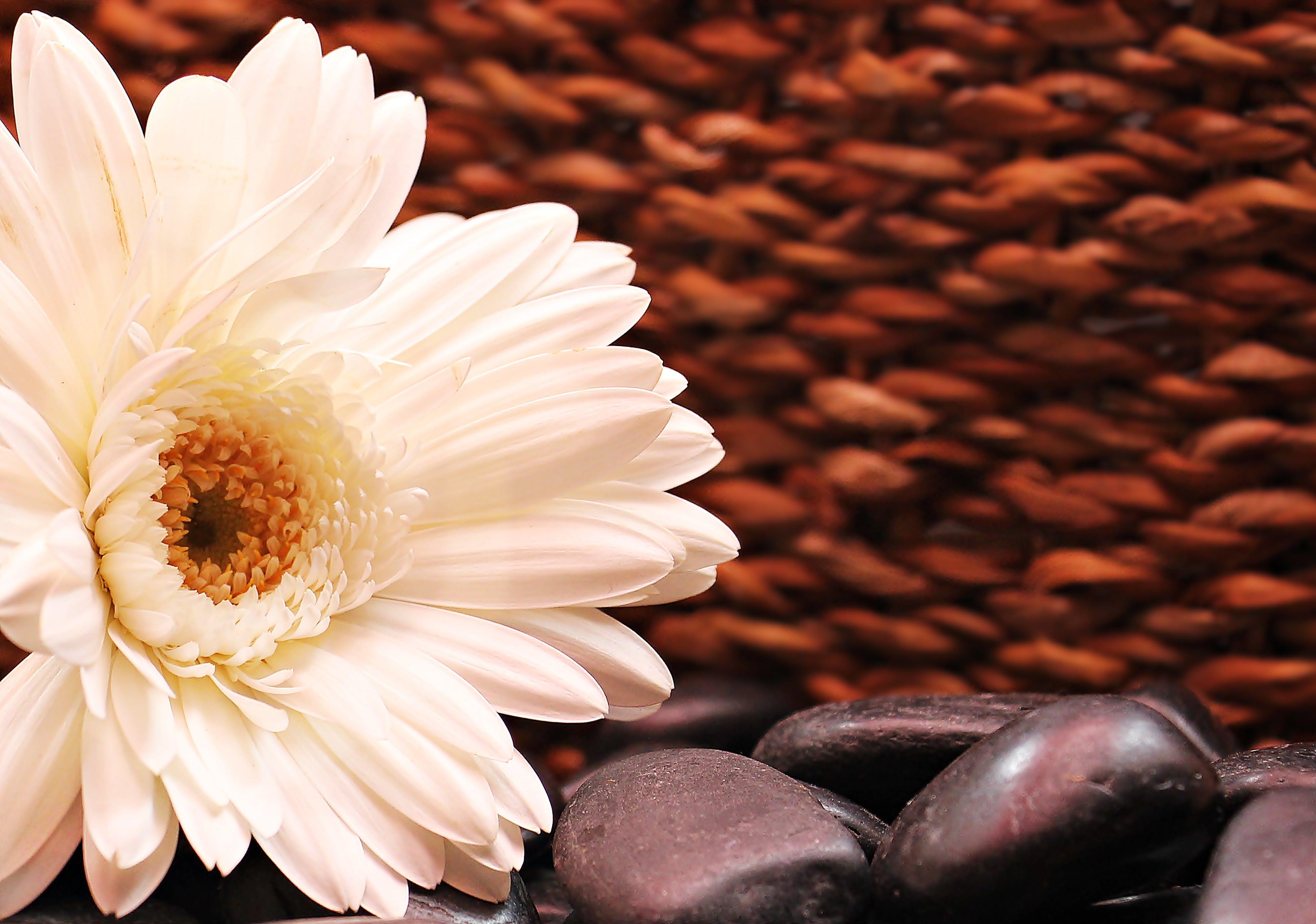White Gerbera Daisy Flower in Bloom on Black Pebbles