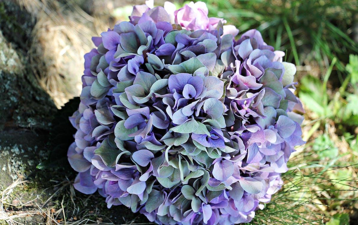 Purple and Green Hydrangea Macrophylla Flower in Bloom