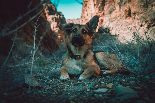 Black and Tan German Shepherd Puppy Sitting on Rocks