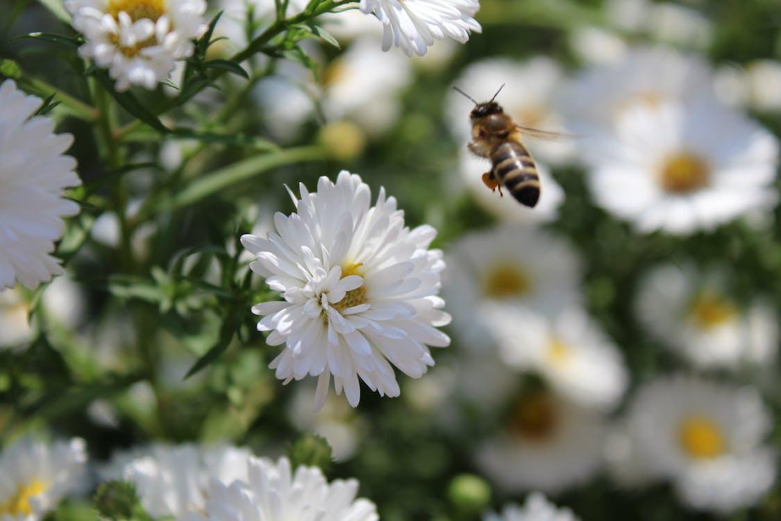 選択的な焦点の写真撮影で白いアスターの花の近くに浮かんでいるミツバチ
