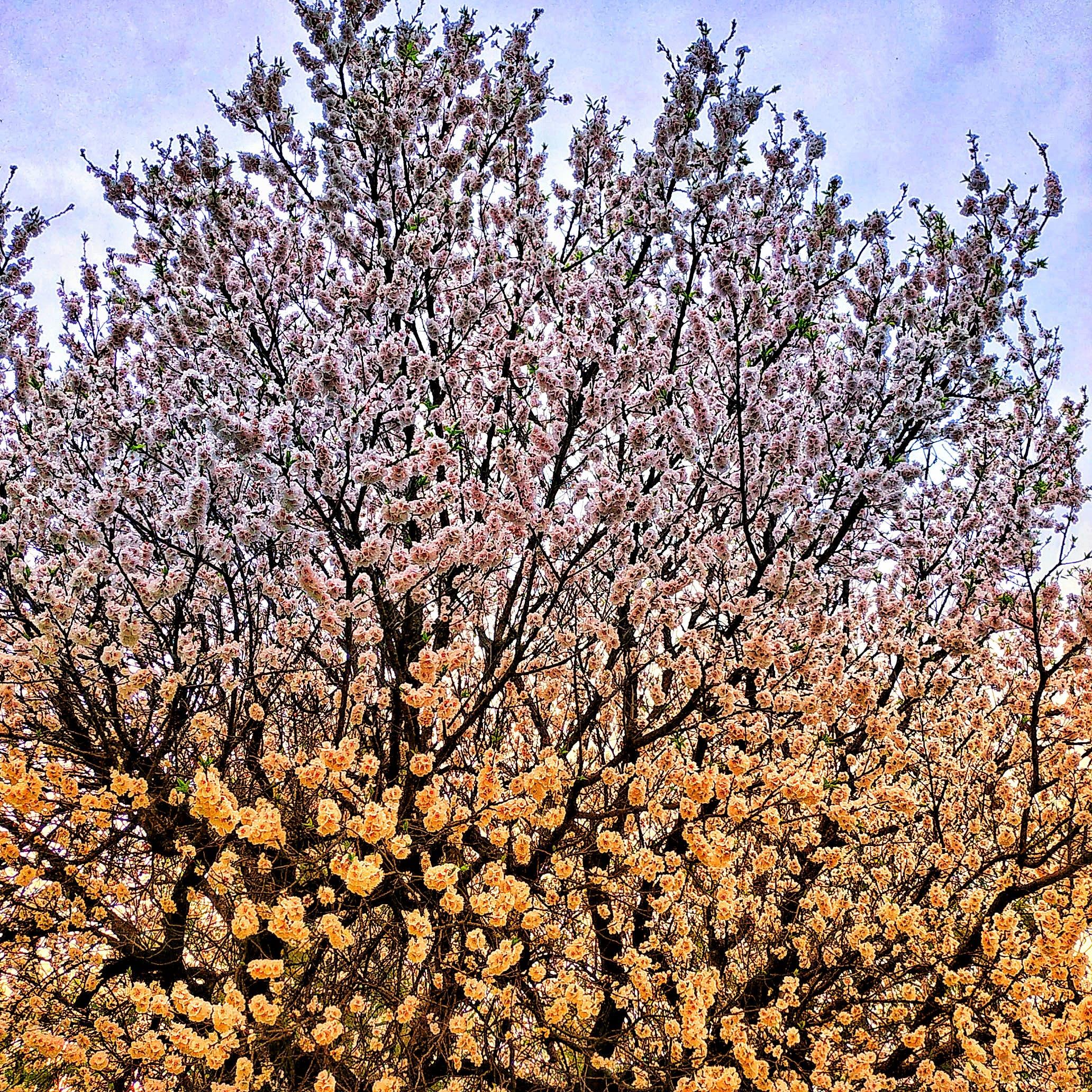 Free stock photo of cherry blossoms, roadside, sky, tree