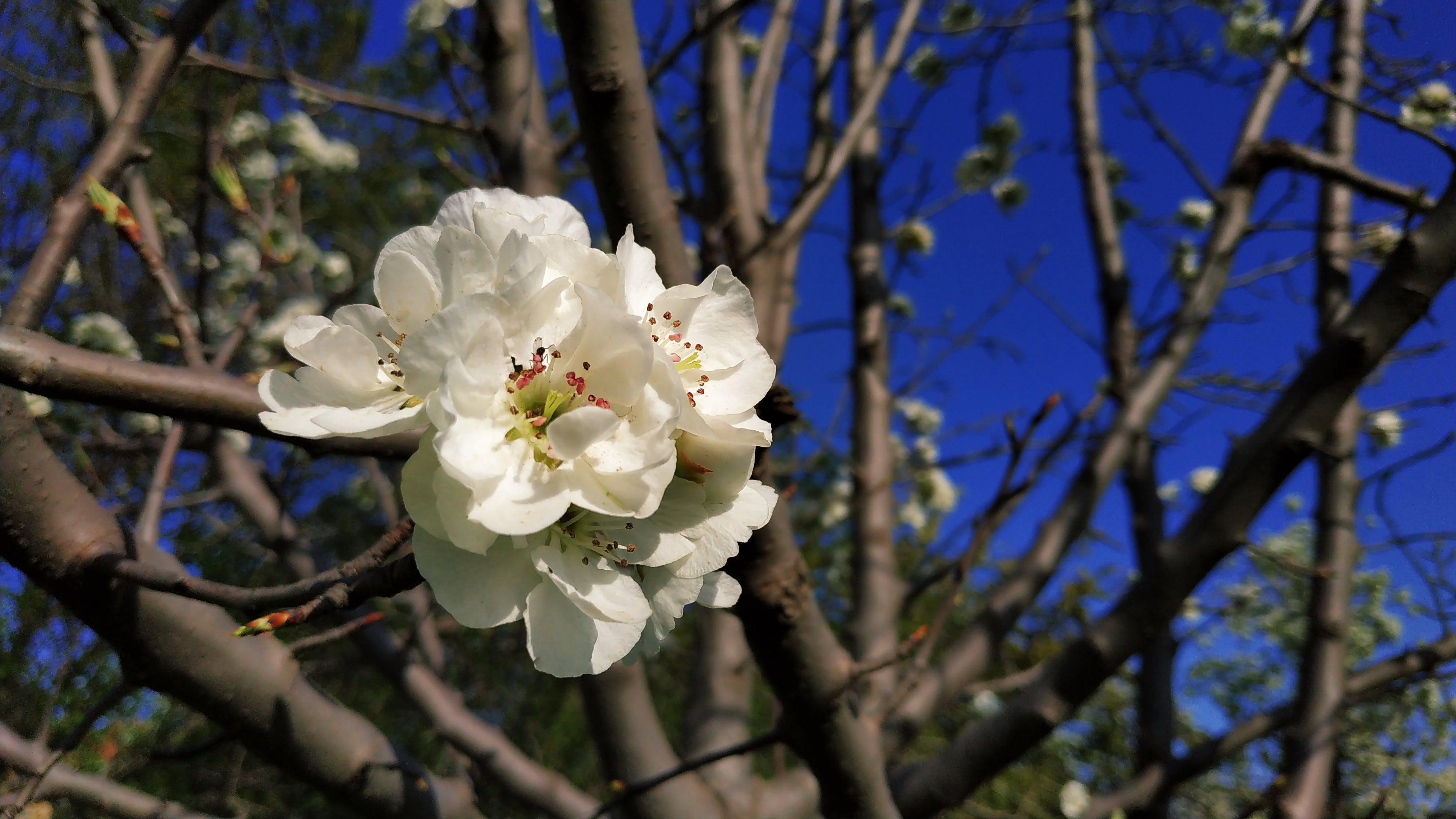 Free stock photo of blue sky, cherry blossom, white