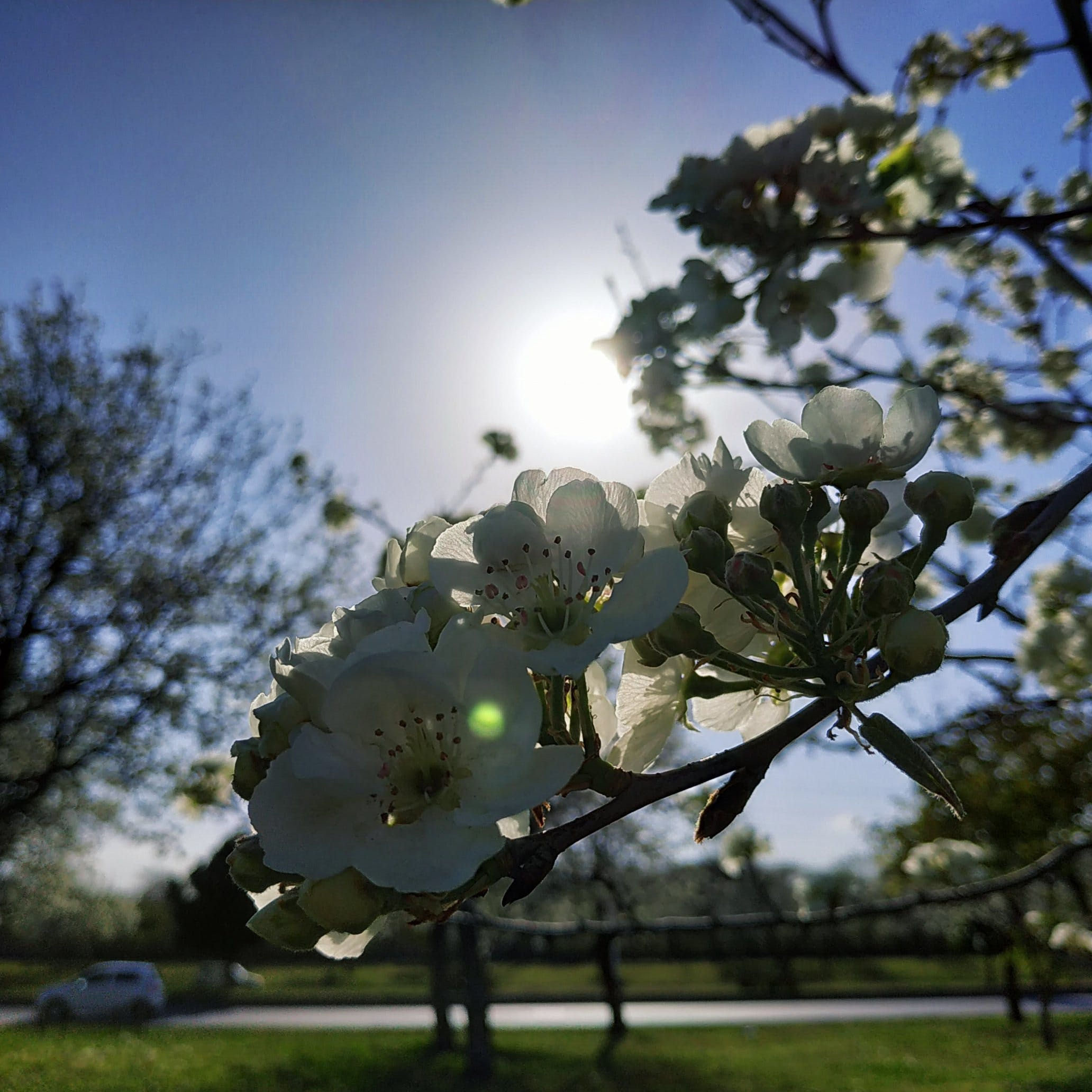 Free stock photo of cherry blossoms, day light, lens flare, pathway