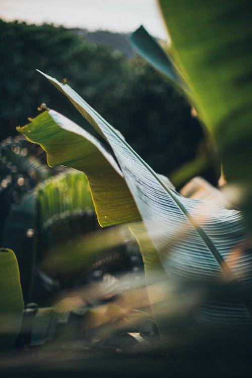 Gratis lagerfoto af bananblade, close-up, dybde, fokus
