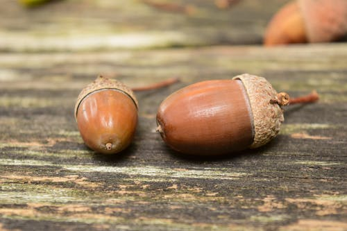 Two Brown Chestnuts
