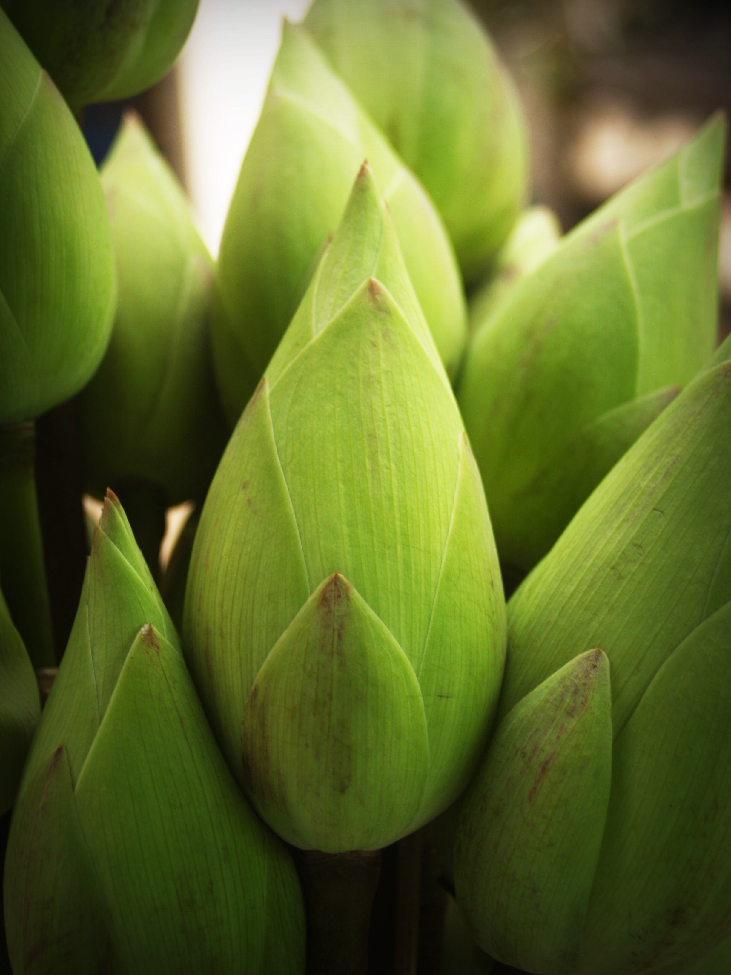 Green Lotus Flower Buds Close-up Photography