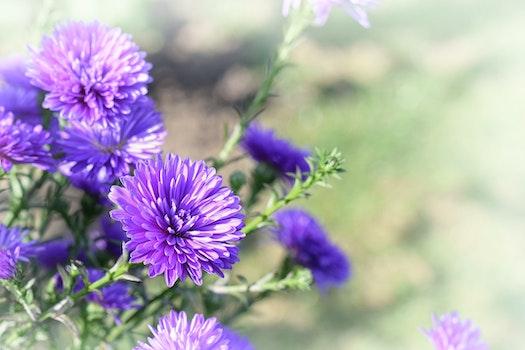 Free stock photo of nature, purple, garden, autumn