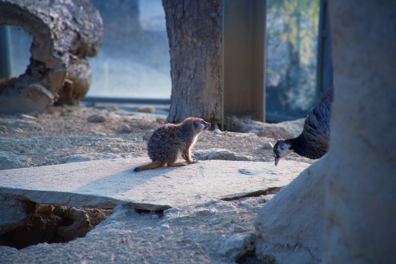 Free stock photo of animals, cute animals, meerkat