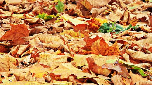 Gratis lagerfoto af ahorn, close-up, efterårsblade, farve