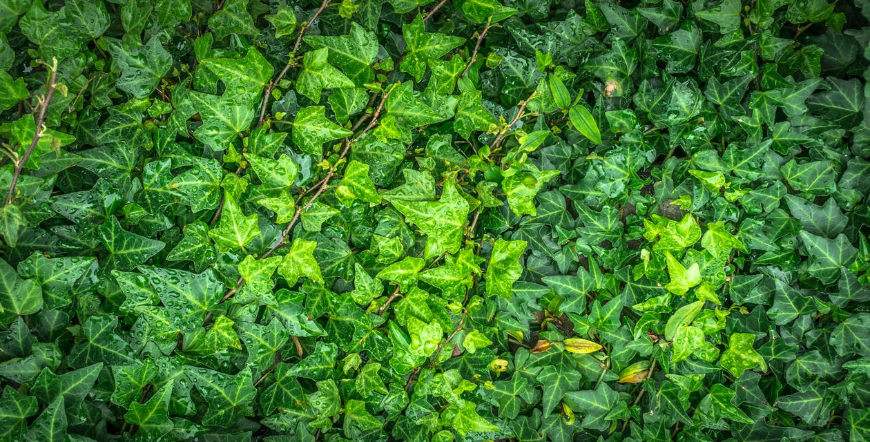Green English Ivy