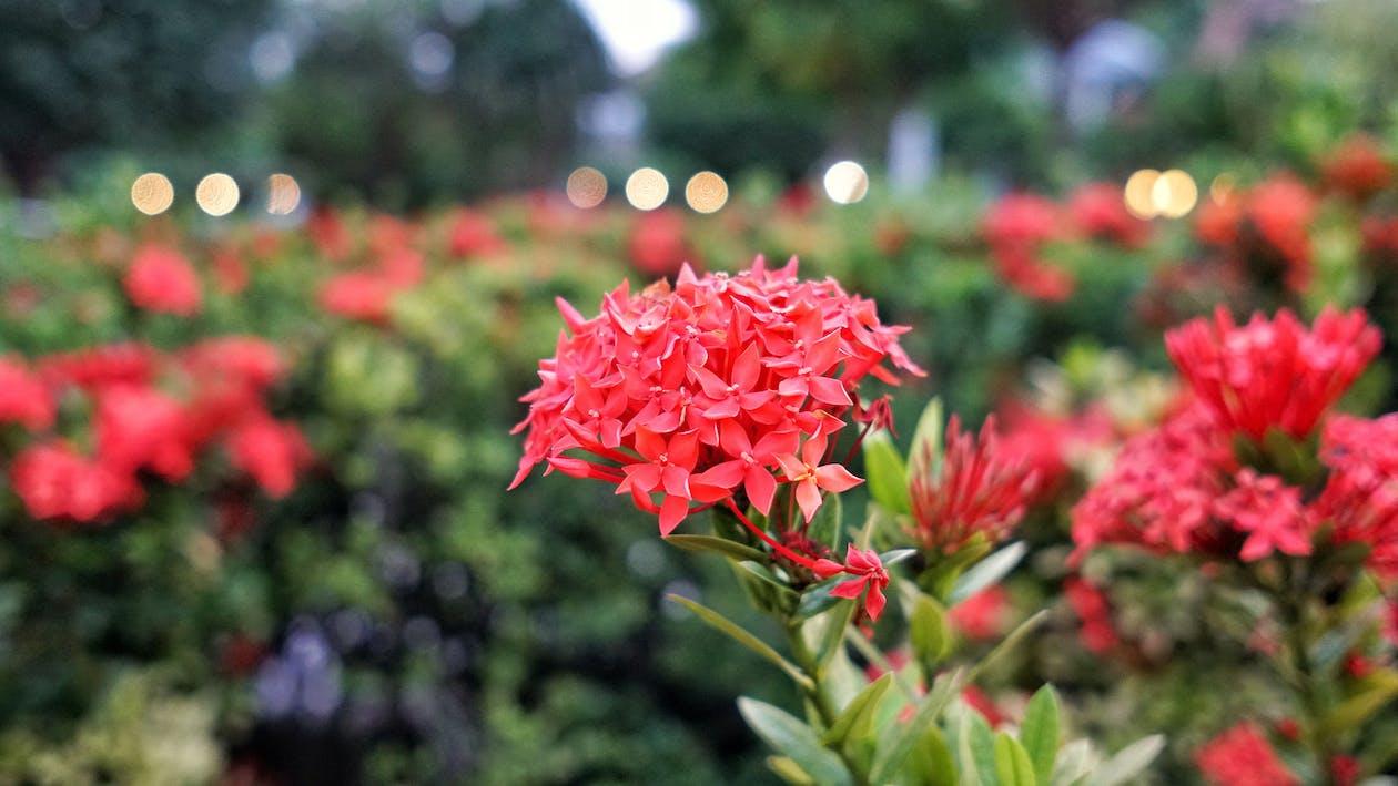 flor, jardí, vermell