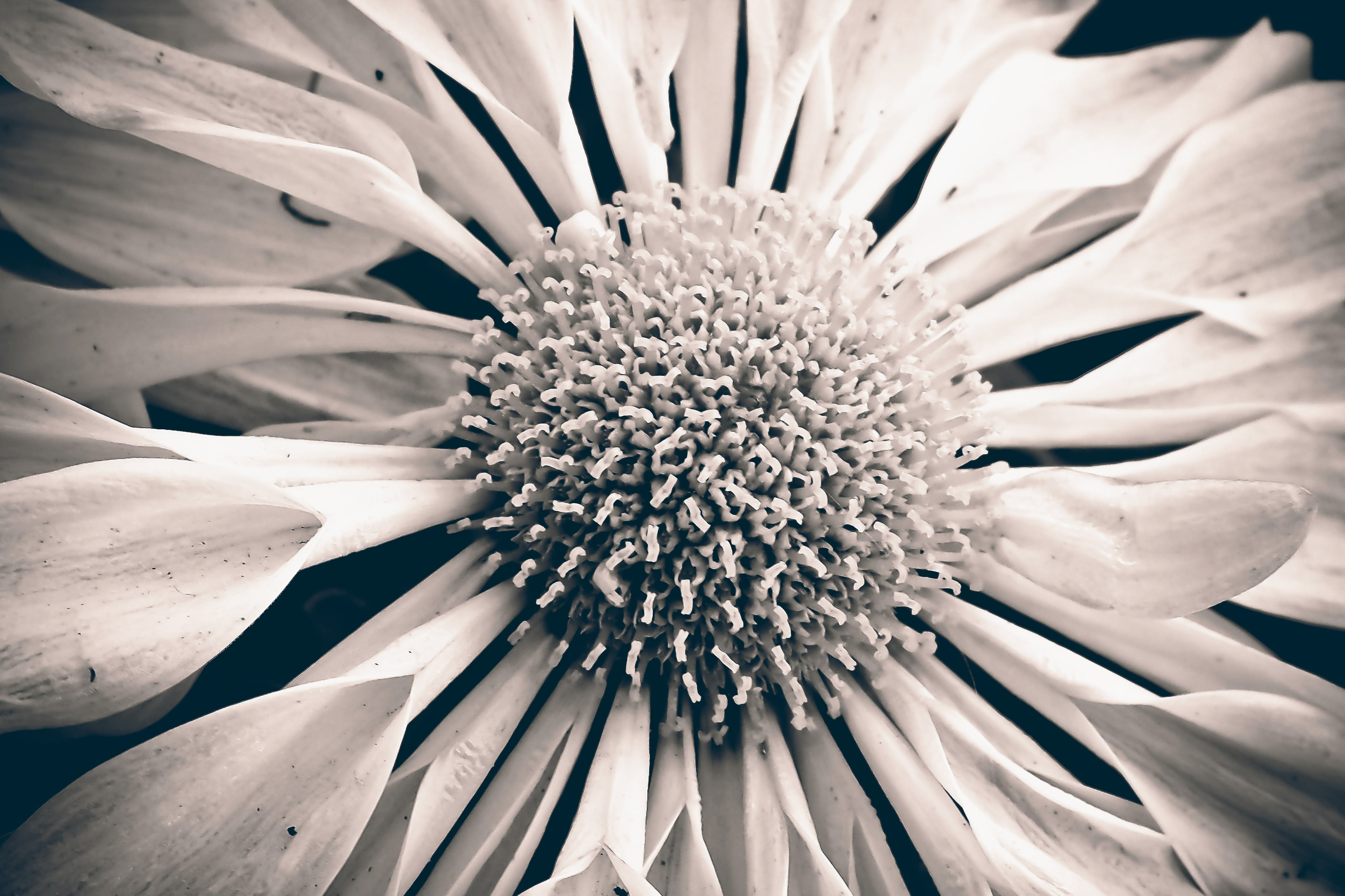 Greyscale Photo of Spoon Daisy