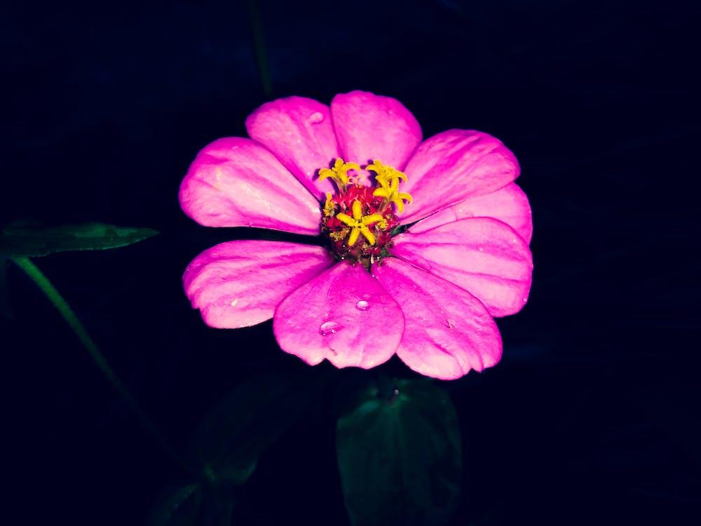 cor rosa, flor bonita, flor cor-de-rosa