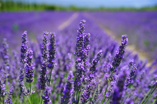 lavender Photos