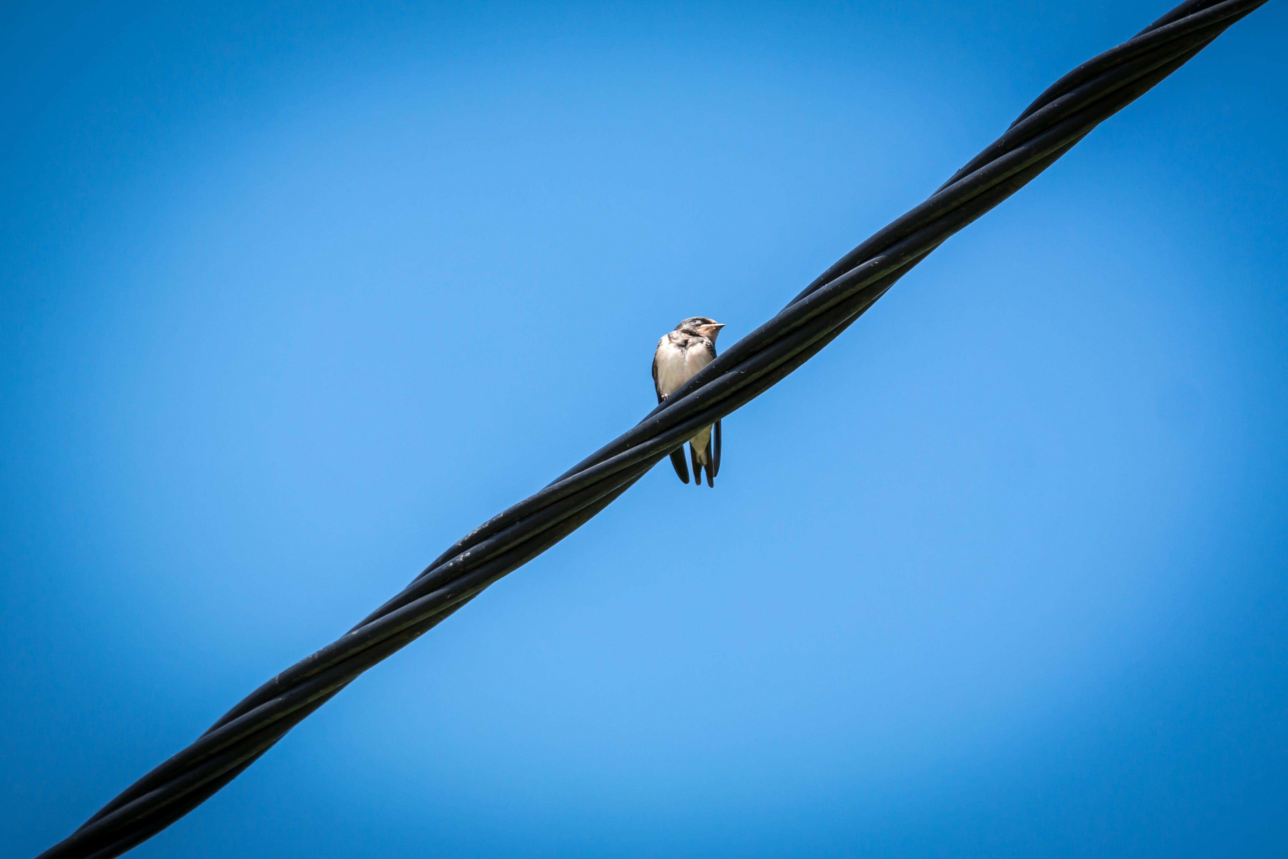 White Bird on Black Electricity Wire