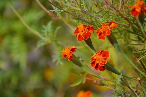 Ingyenes stockfotó körömvirág, körömvirág virág témában