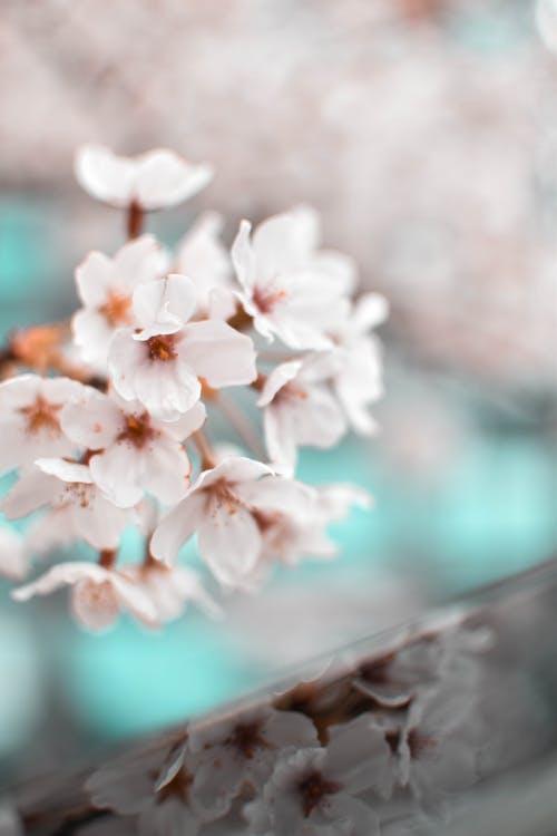 Ingyenes stockfotó ág, cseresznyevirág, évszak, fa témában