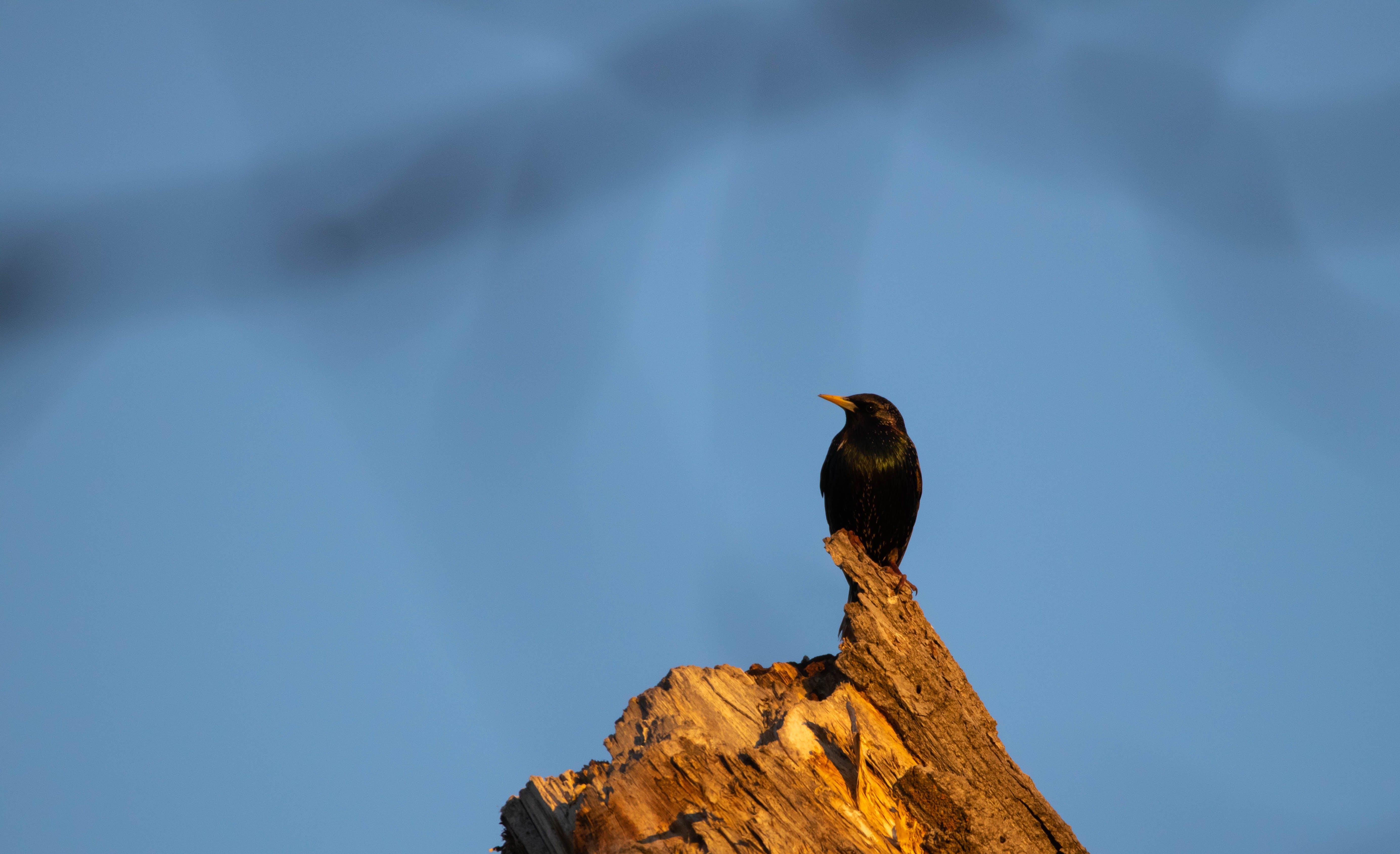 Kostenloses Stock Foto zu european starling, star