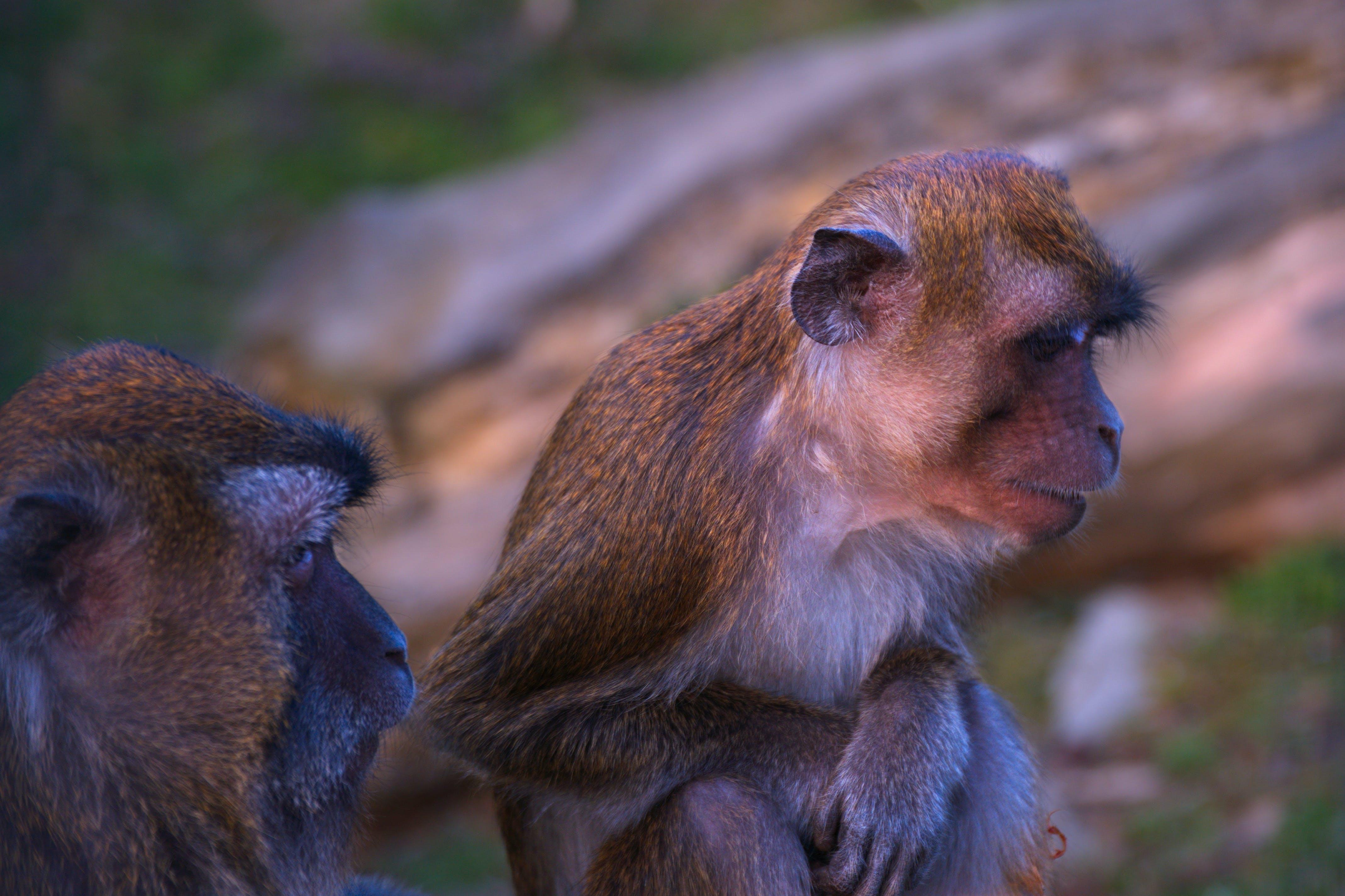 Free stock photo of cute animals, monkeys, wild animals