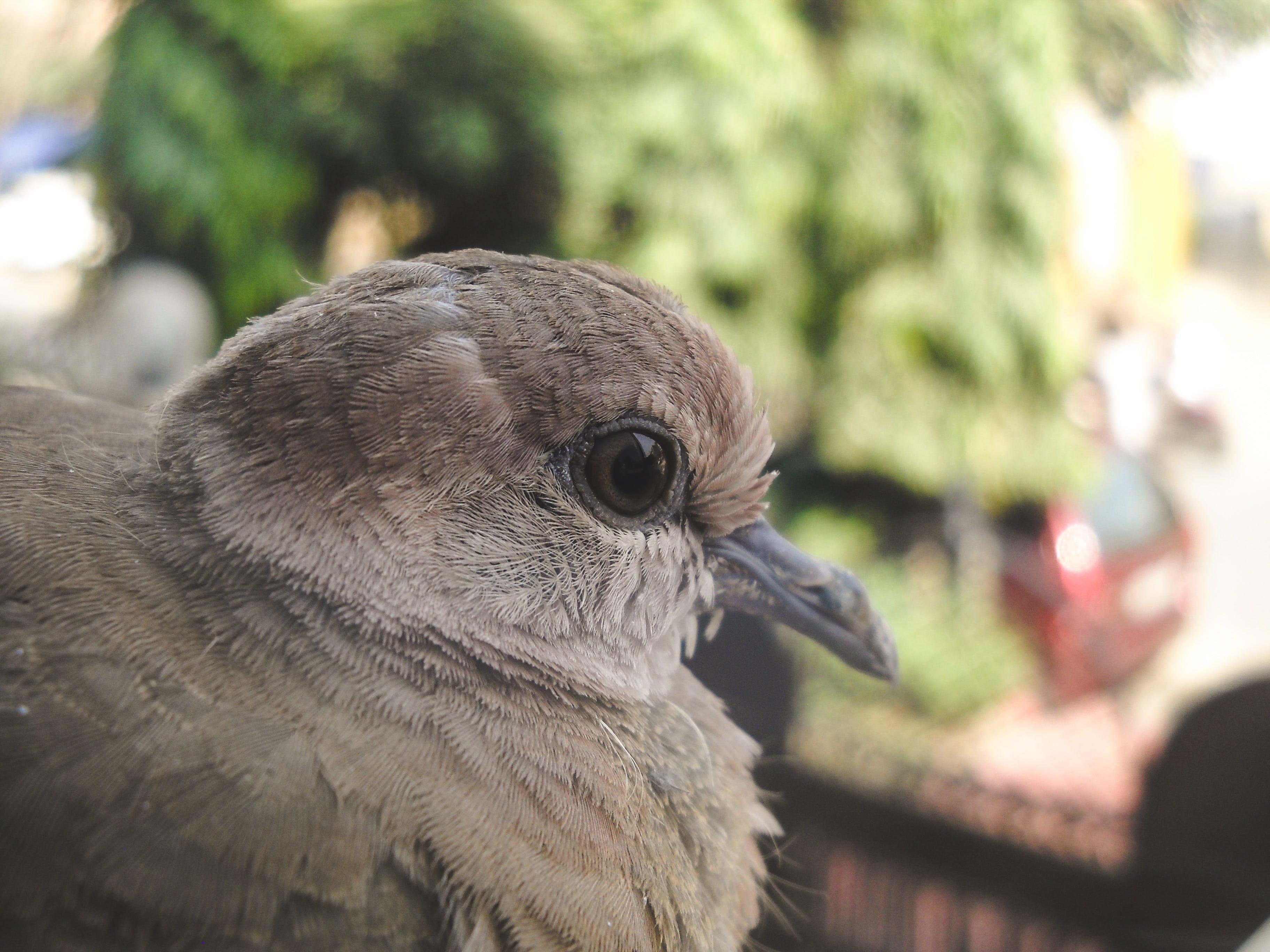 Základová fotografie zdarma na téma hloubka ostrosti, indiánský pták, pegion