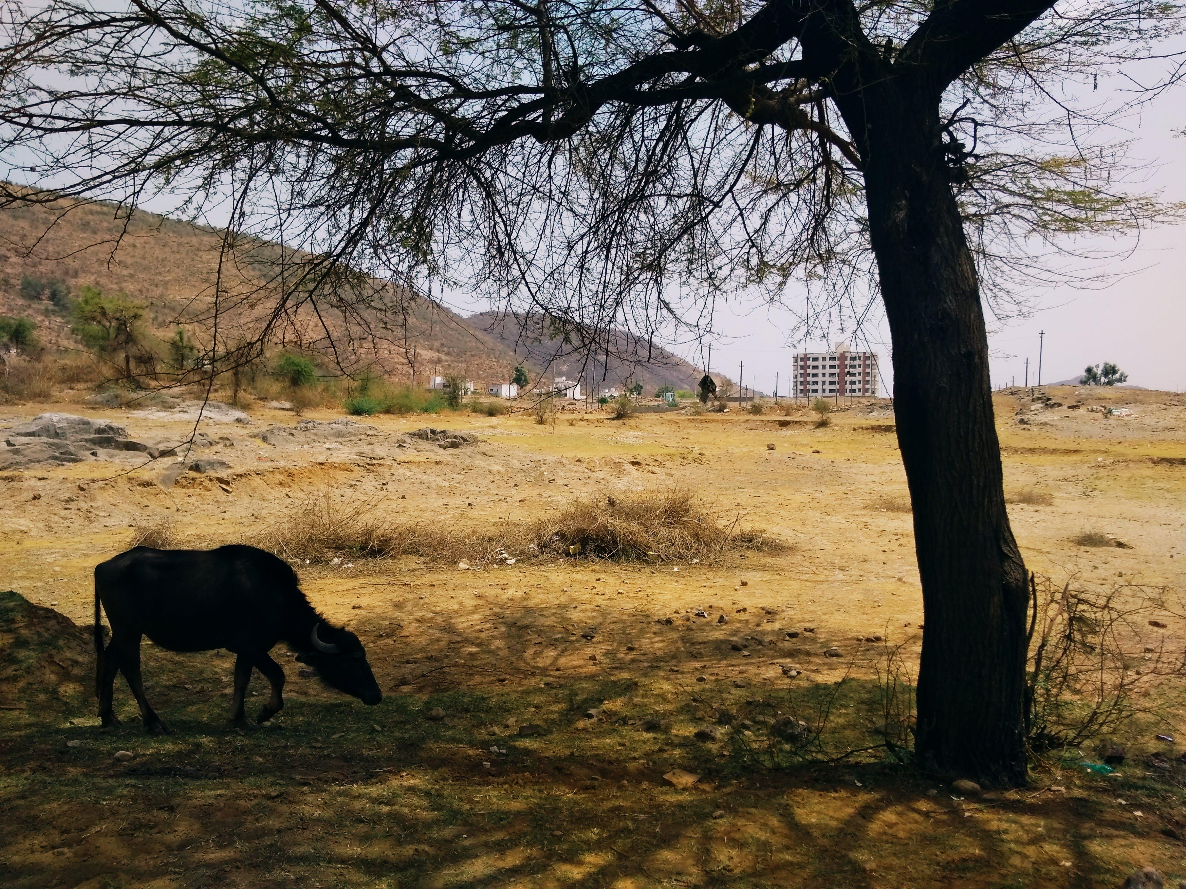 Základová fotografie zdarma na téma buffalo pod stromem, buvol pod stromem, pravidlo třetích, strom