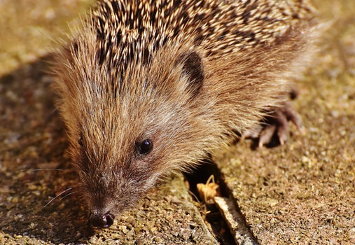 Close Up Picture of Brown Hedgehog