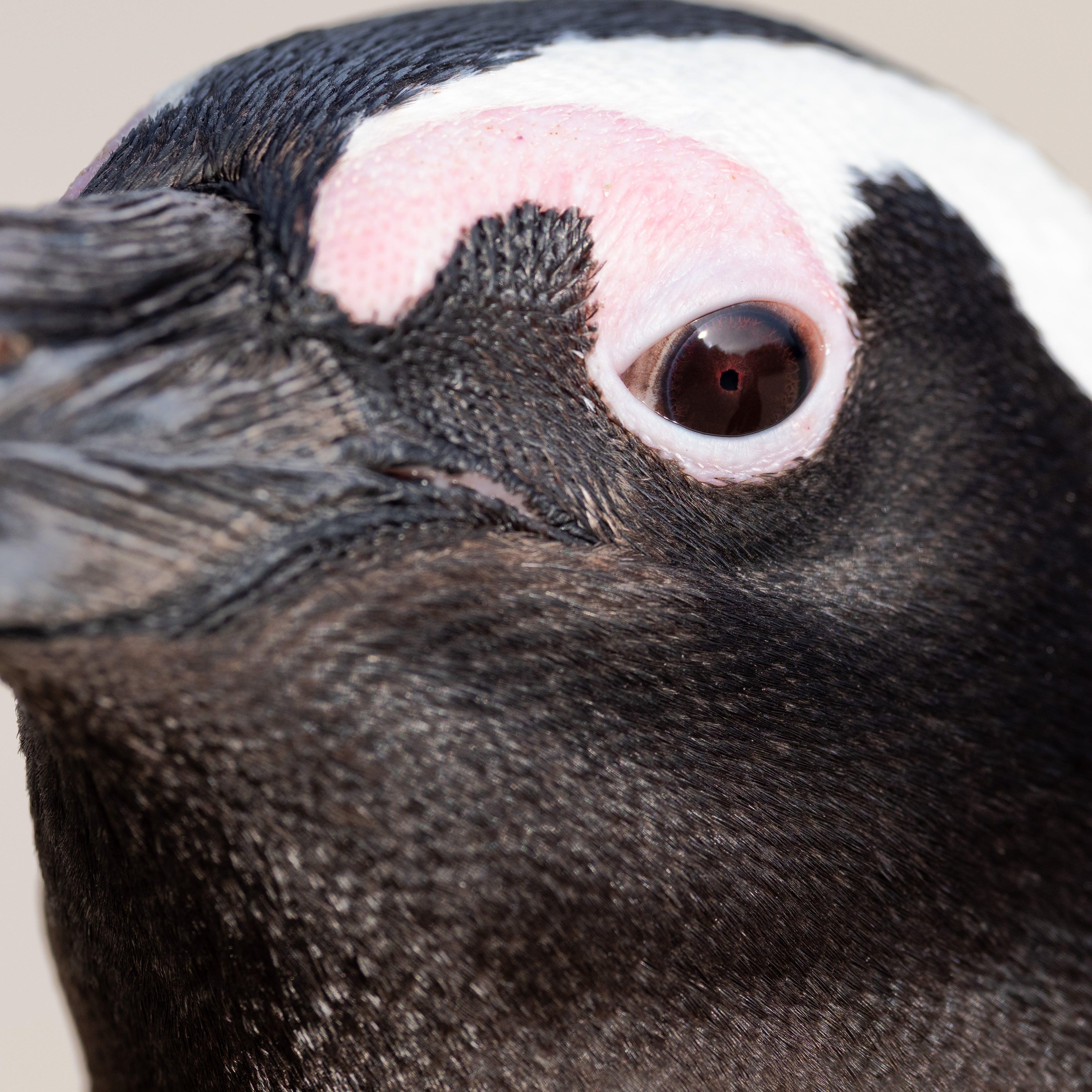 Fotobanka sbezplatnými fotkami na tému africký tučniak, balvany, biela, cicavec