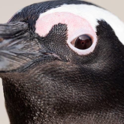 Ingyenes stockfotó afrikai pingvin, állat, állatok, aranyos témában
