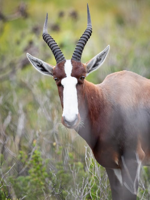Selective Focus Photography of Springbok