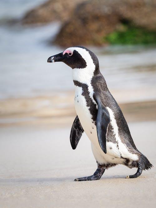 afrika pengueni, antarktika, Antartik, ayakta içeren Ücretsiz stok fotoğraf