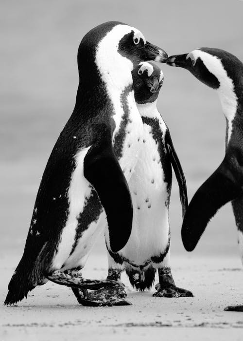 White and Black Penguins Standing on Snow