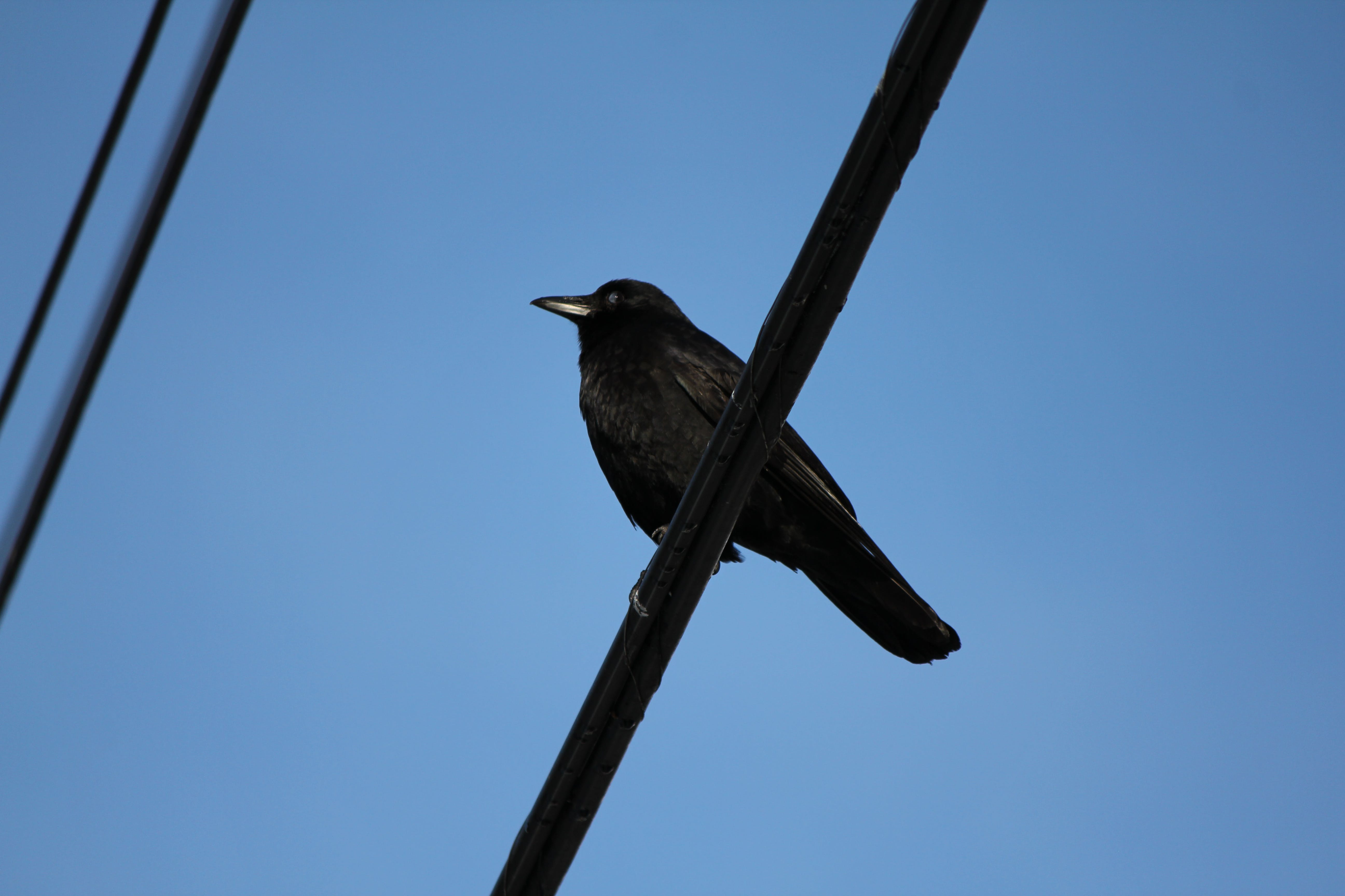 Black Crow on Cable