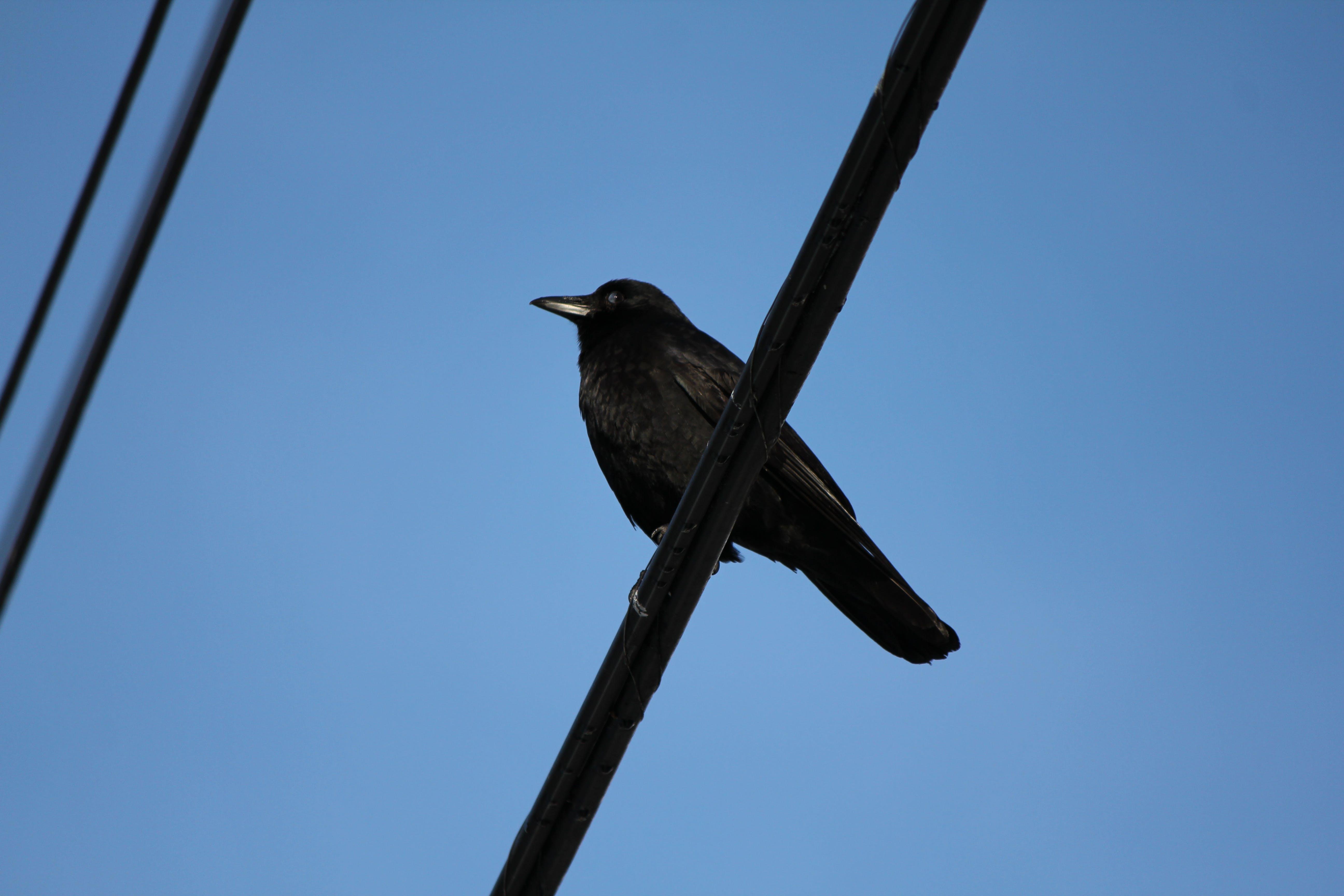 bird, blue sky, crow