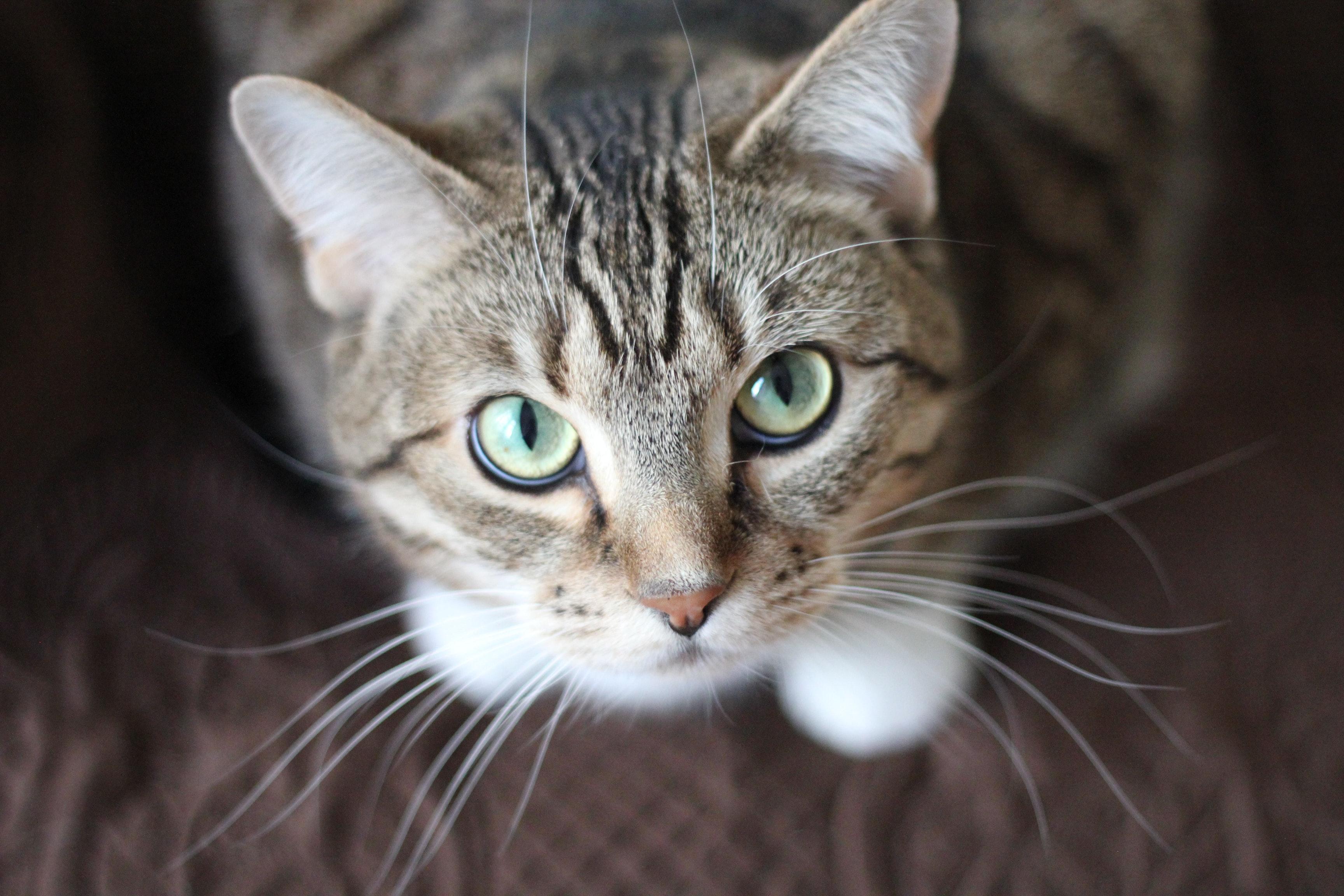 Short Coated Gray Cat Free Stock Photo