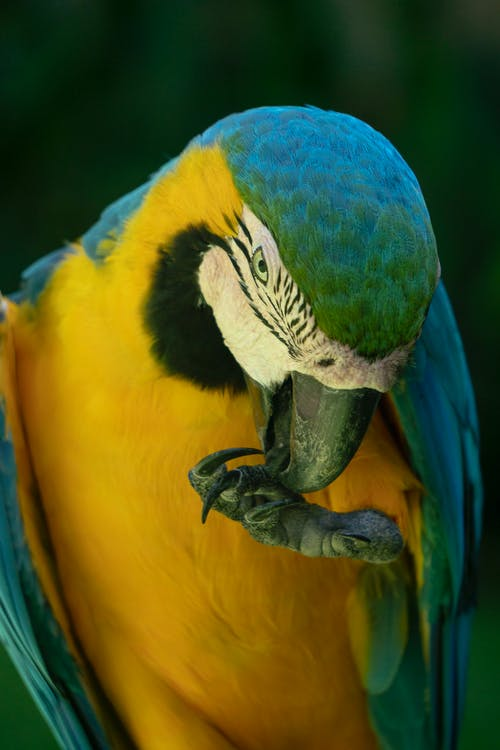 Blue-and-yellow Macaw Licking It's Claw