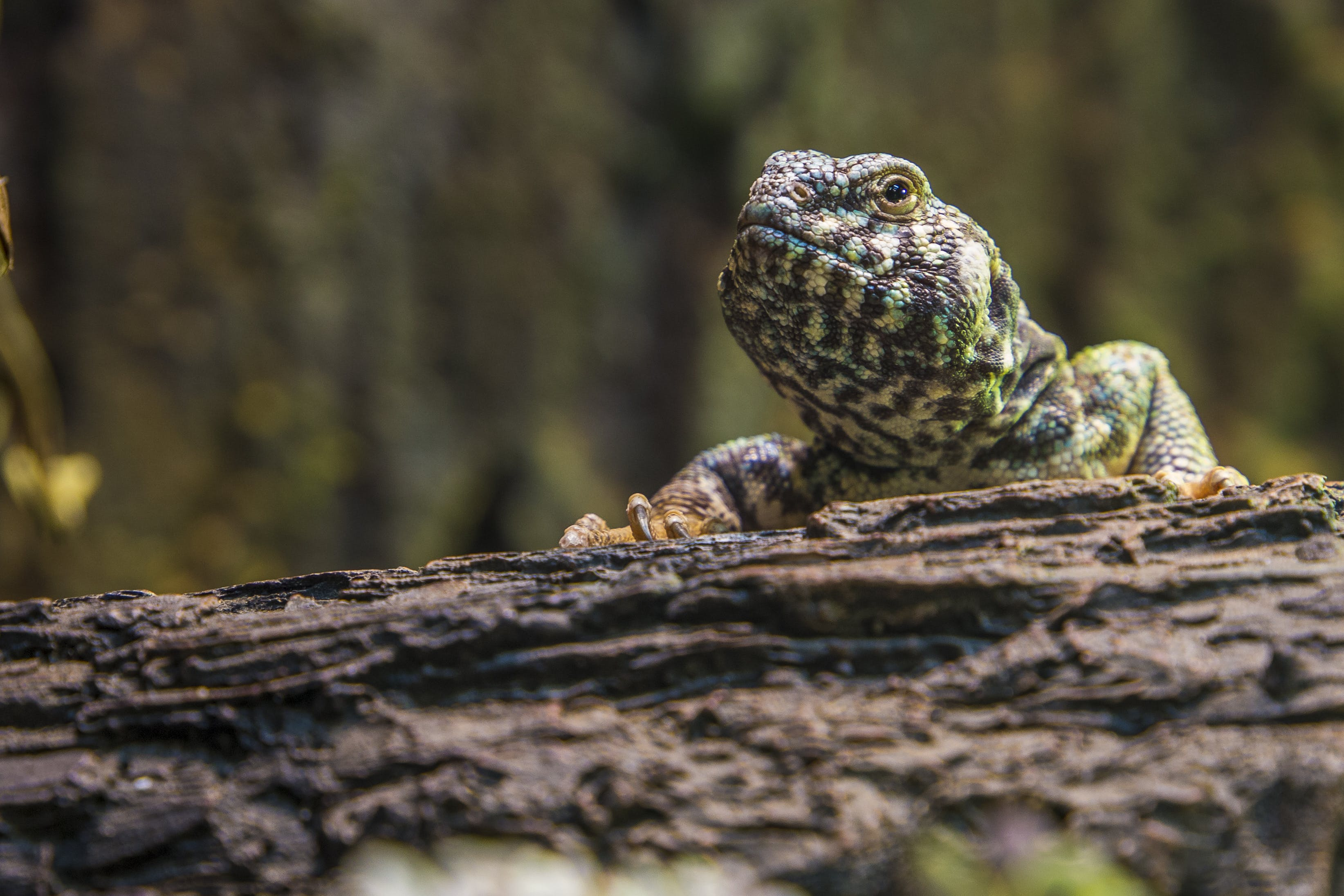 Green and Black Lizard on Top of Rock Close-up Photography