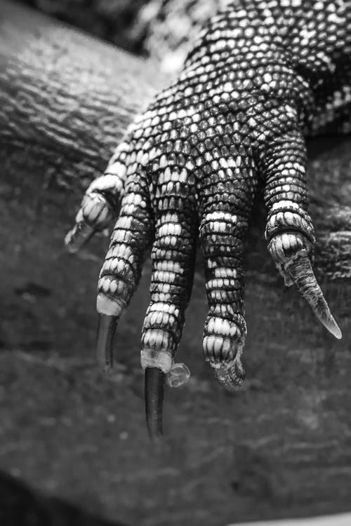 Grayscale Photo of Monitor Lizard's Arm
