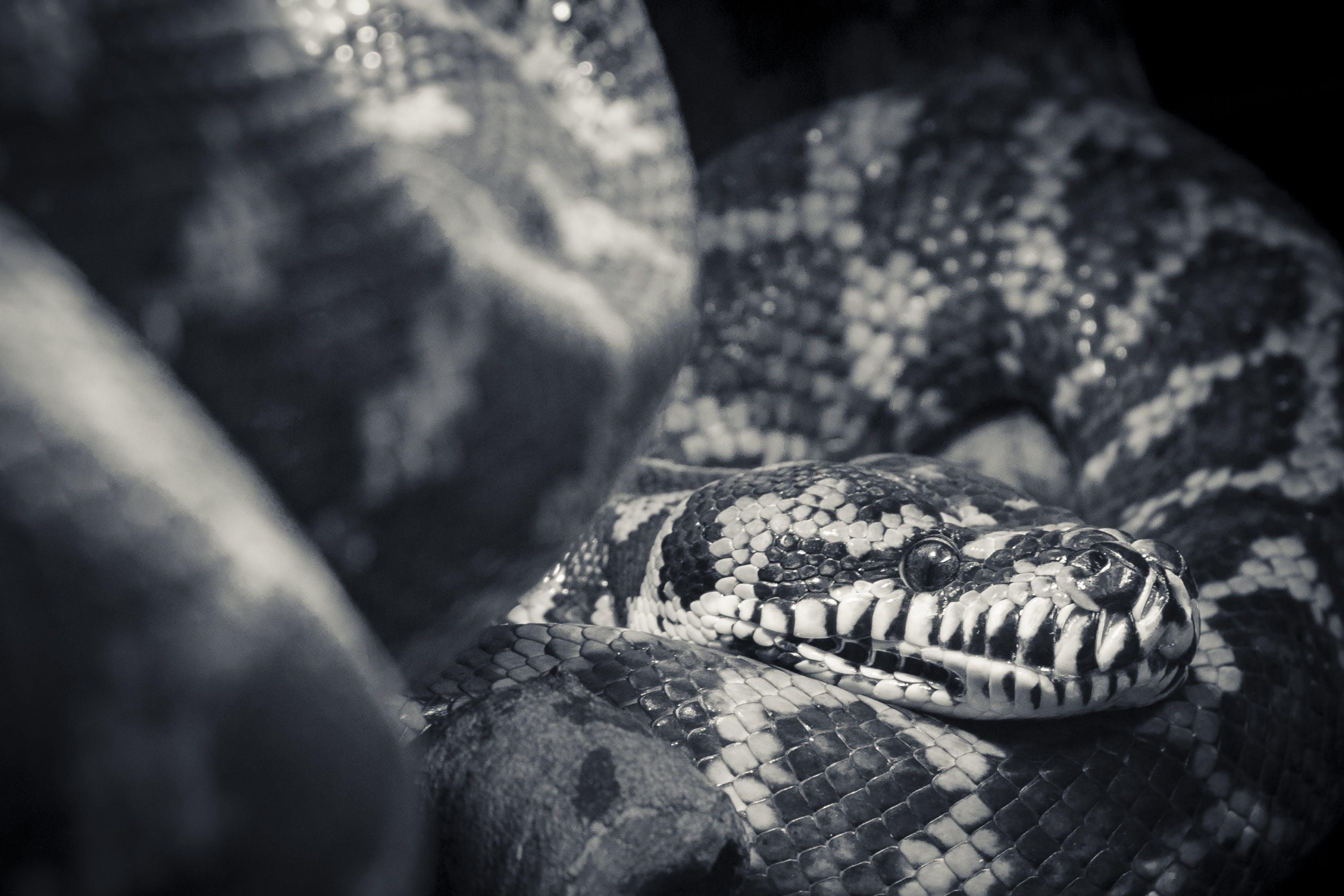 Free stock photo of animal, black and white, close up, eyes