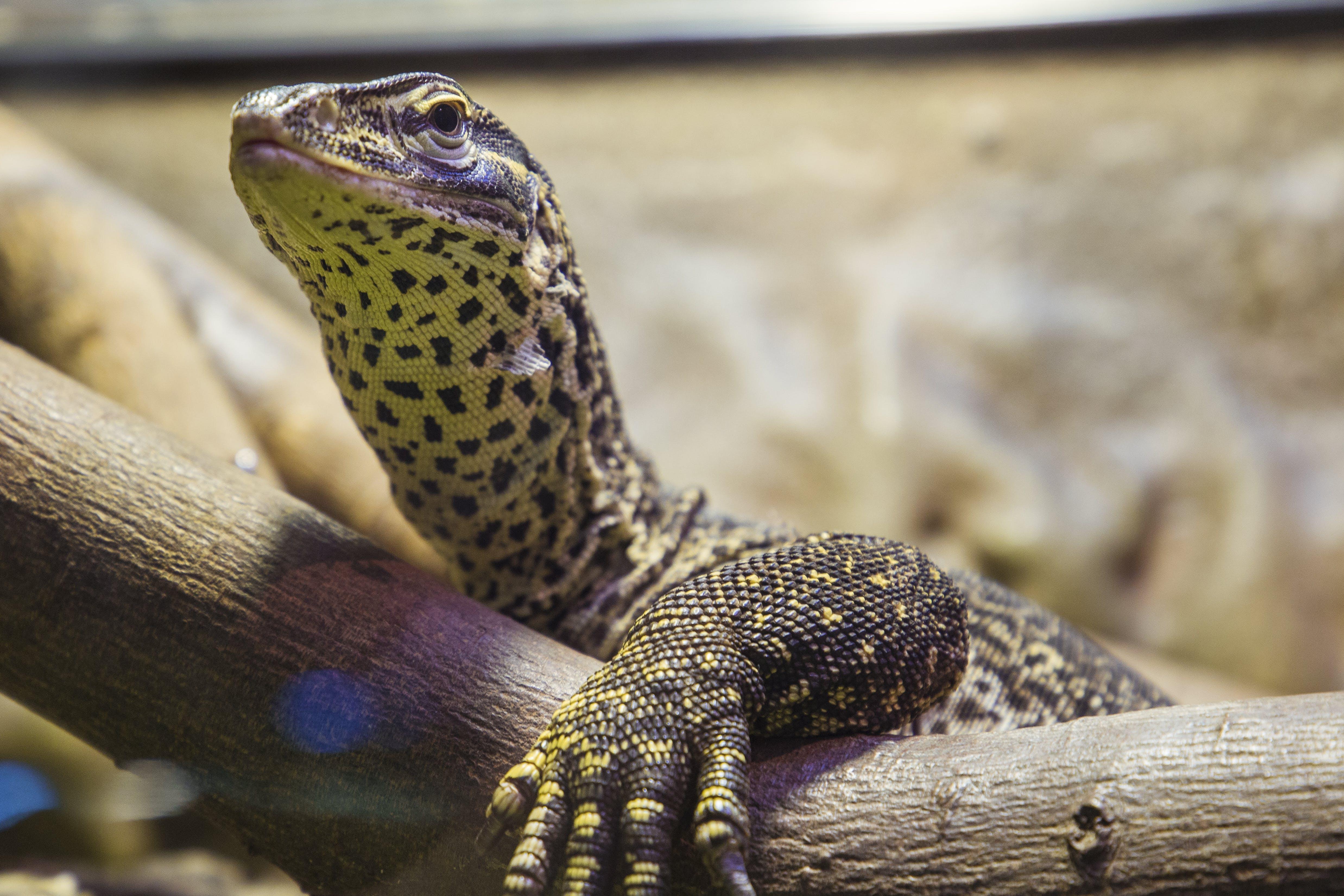 Free stock photo of animal, close up, eyes, lazy