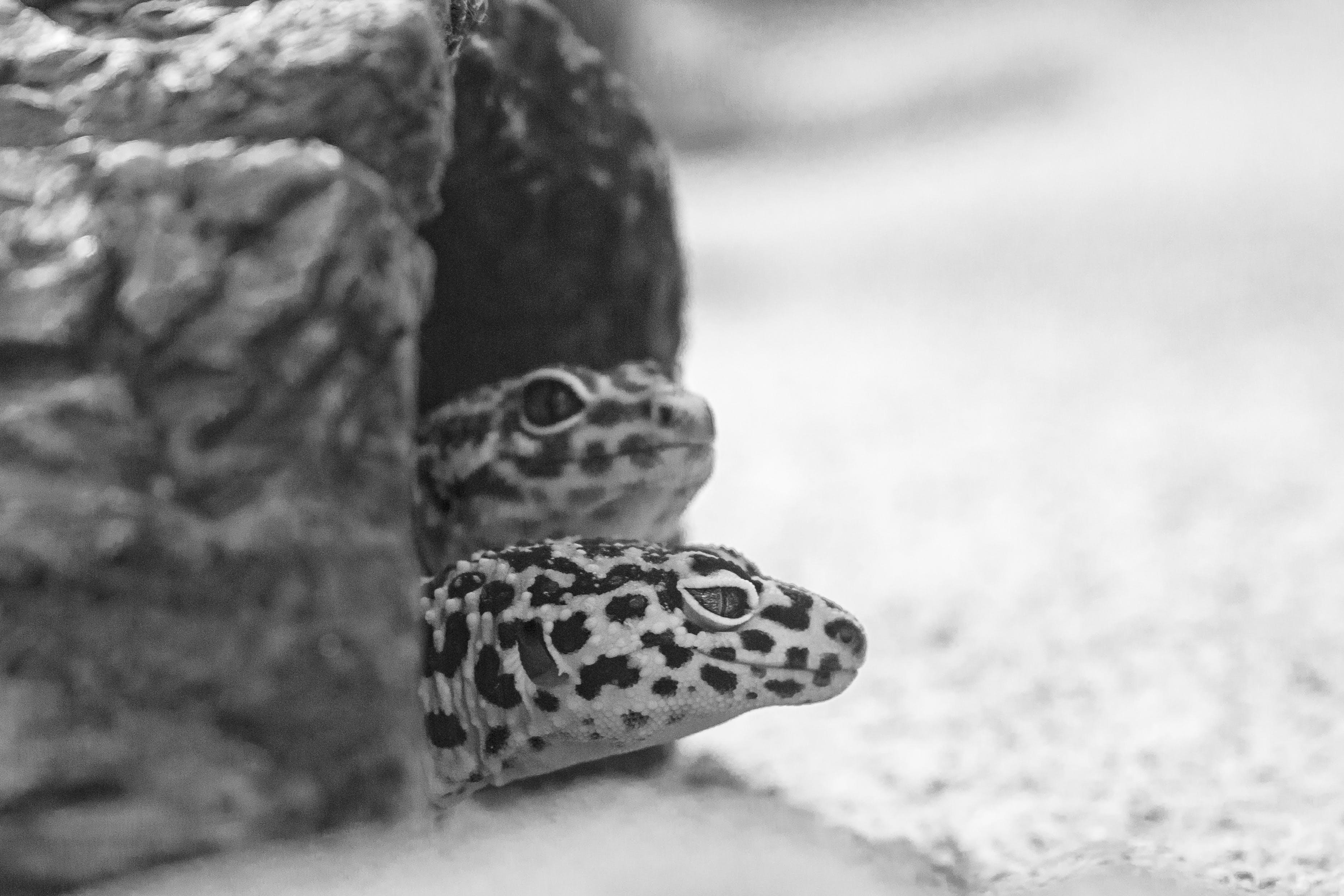Kostenloses Stock Foto zu augen, nahansicht, reptilien, tier