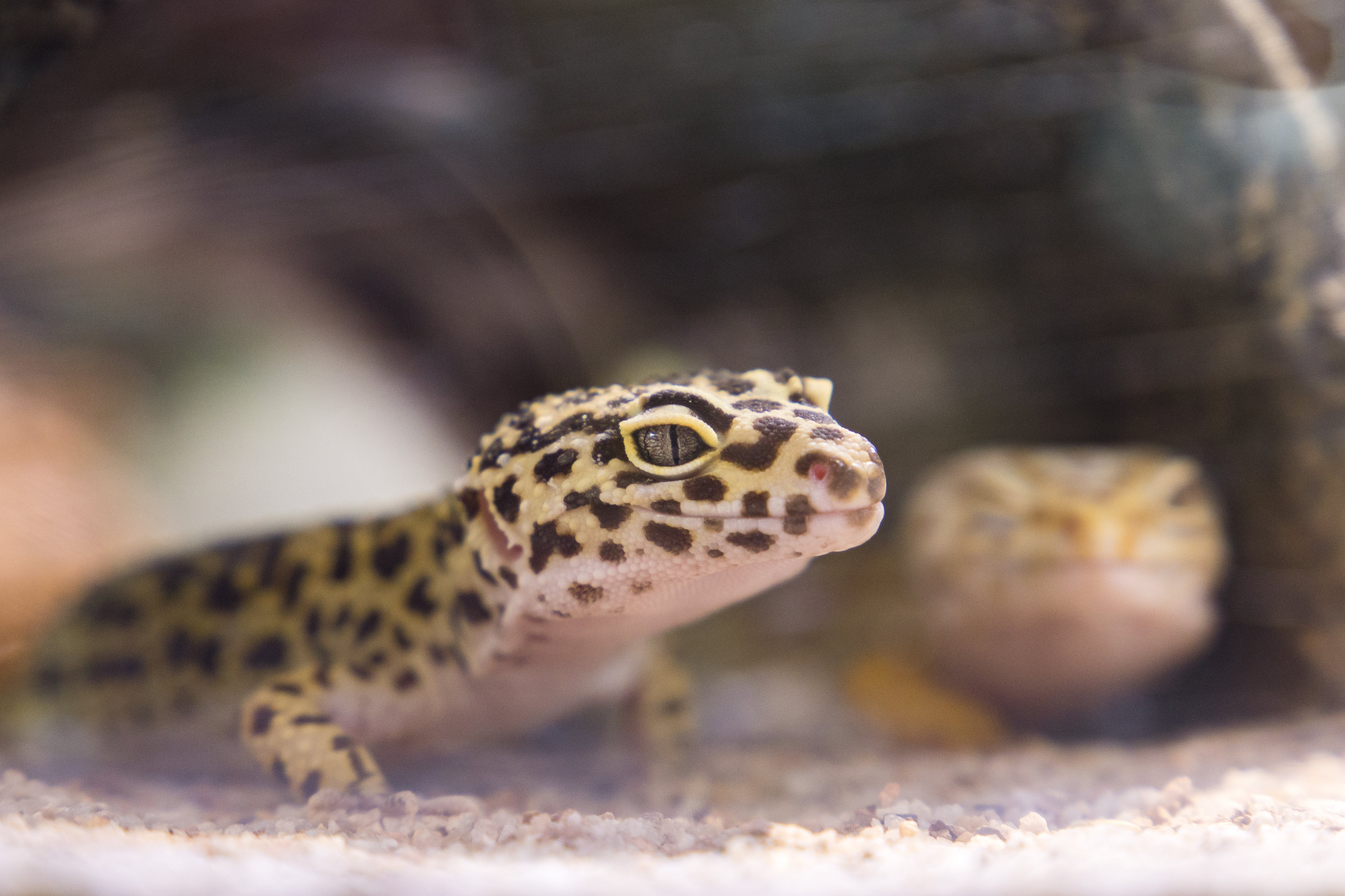 Close-up Photography of Black and Brown Lizard