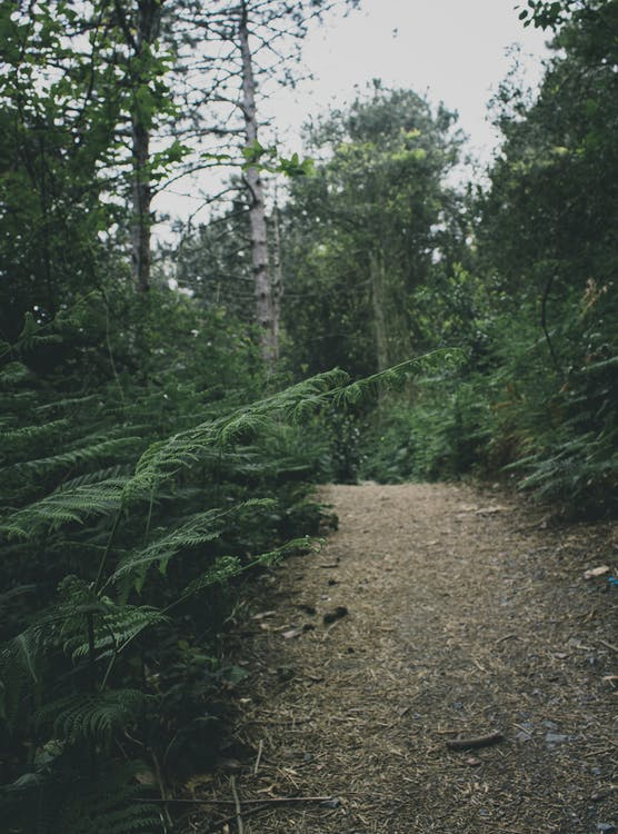 Green Ferns and Pathway