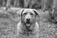 black-and-white, animal, dog