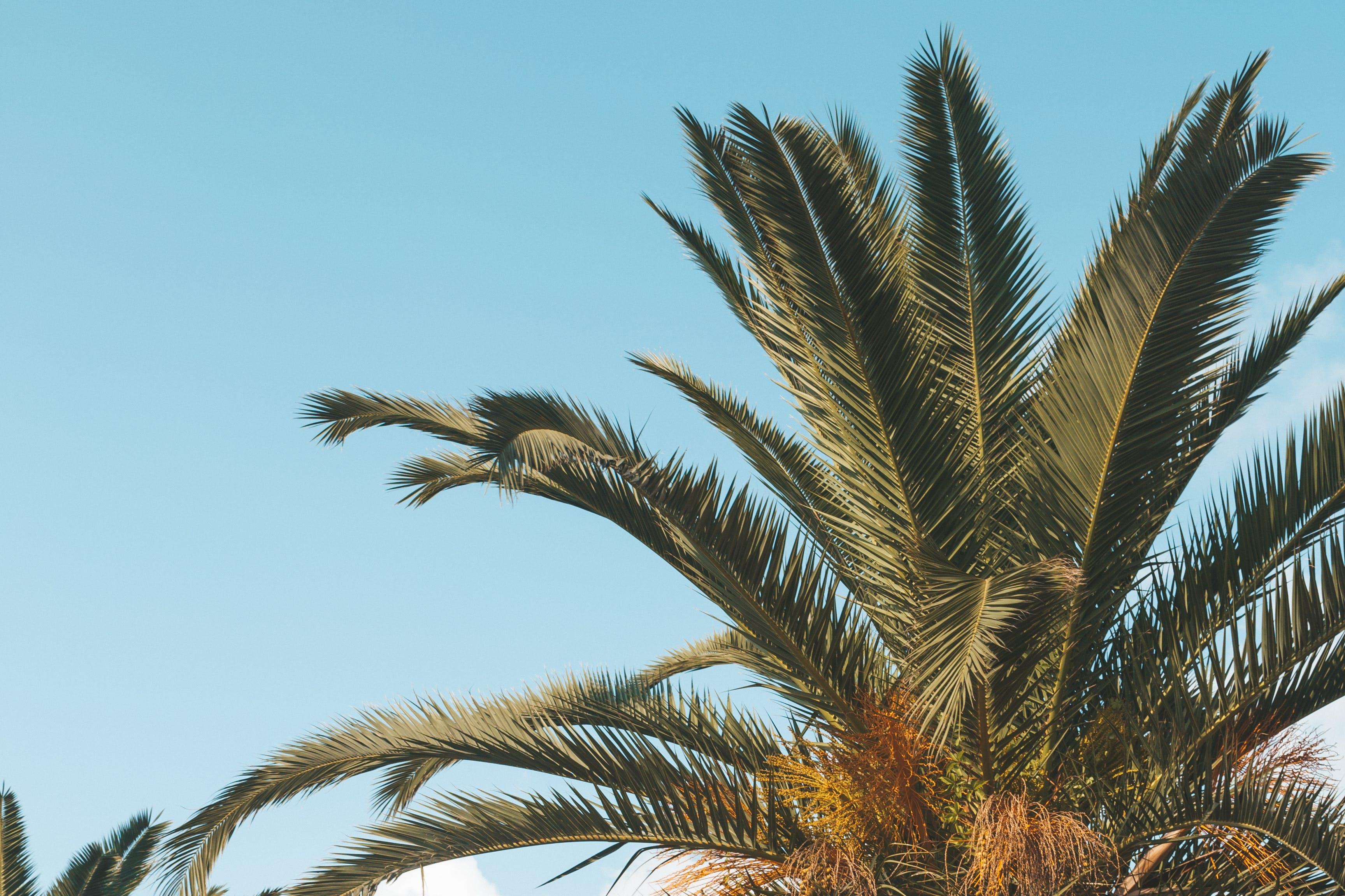 Foto stok gratis pepohonan palem, telapak tangan
