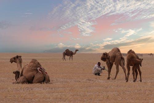Gratis stockfoto met arabische kamelen, avontuur, beesten, daglicht